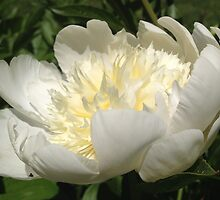 White Peony Flower by SenskeArt