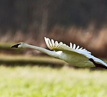 A Swan Lifts Off from the Marsh by David Friederich
