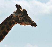 Giraffe by hjhphotography