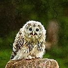 Young Ural Owl (Strix uralensis) by Elaine123