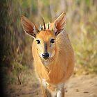 Duiker Ram - Wildlife Curly Cuteness  by LivingWild