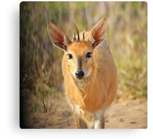 Duiker Ram - Wildlife Curly Cuteness  Canvas Print