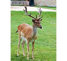 Joker - Deer at Burghley House Photographic Print