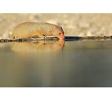 Slender Mongoose - Golden Glow of Joy and Life Photographic Print