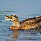 Feeding Duck by Daniel  Parent