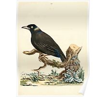 New Illustrations of Zoology Peter Brown 1776 0053 Birds Poster