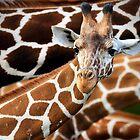 Giraffe Prints by Kathy Cline