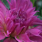 Rosy Dahlia by Monnie Ryan
