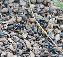 Jack Jumper ants on their nest by Ron Co