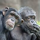 Couple Chimps by Savannah Gibbs
