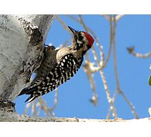 Ladder-backed Woodpecker ~ Male Photographic Print