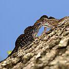 Lizard combat by David Lee Thompson