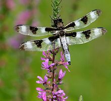 Indian Park Dragonfly by Gene Walls