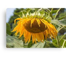 Last Breath of the Sunflower Canvas Print