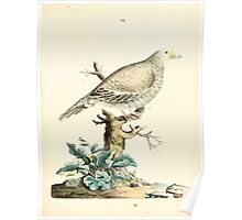 New Illustrations of Zoology Peter Brown 1776 0099 Birds Poster
