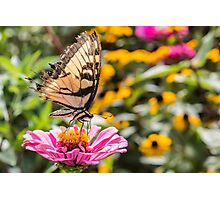 Tattered Wings of the Swallowtail Photographic Print