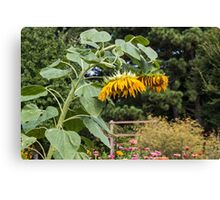 Wilted Sunflowers in Garden Canvas Print