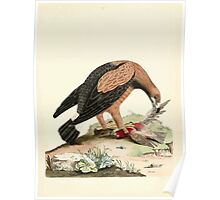 New Illustrations of Zoology Peter Brown 1776 0021 Birds Poster