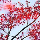 Brachychiton flowers by Adriano Carrideo