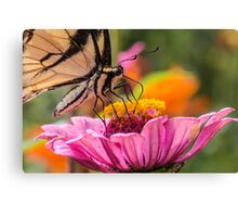 Tiger Swallowtail with Tattered Wings  Canvas Print