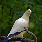 Pied Imperial Pigeon by Winston D. Munnings