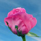 A Pink Rose by RickDavis
