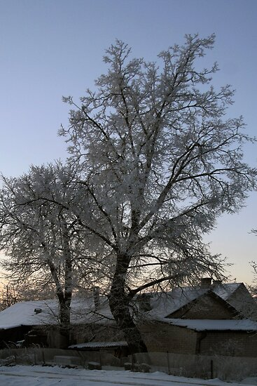 Frost on trees in Christmas by Antanas