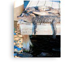 Alligator Hangout Canvas Print