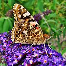Painted Lady, Resting On Summer Buddliah by Sandra Cockayne