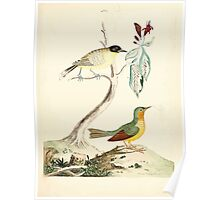 New Illustrations of Zoology Peter Brown 1776 0157 Birds Poster
