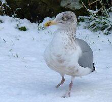Cassie , my resident gull by lynn carter