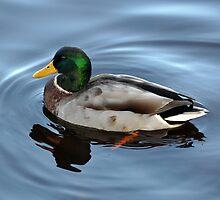 Happy Duck by Bickeringbush