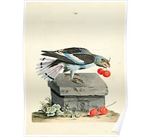 New Illustrations of Zoology Peter Brown 1776 0045 Birds Poster