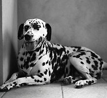 Diamonds - the Dalmatian by shottphotos