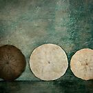 Sand Dollar Trio by Barbara Ingersoll