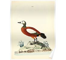 New Illustrations of Zoology Peter Brown 1776 0195 Birds Poster