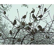 Sparrows Photographic Print