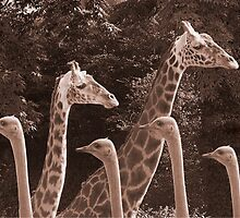 """Neck Parade"" - giraffes and ostriches parading? by John Hartung"