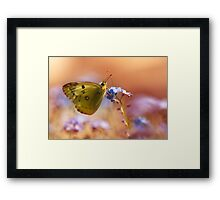 Brown and yellow butterly on forget me not flower Framed Print