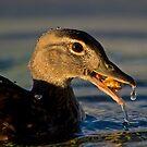 Feeding Wood Duck by Daniel  Parent