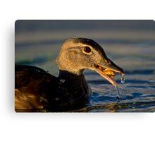 Feeding Wood Duck Canvas Print