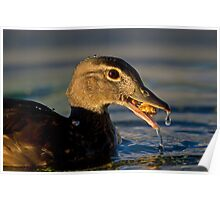 Feeding Wood Duck Poster