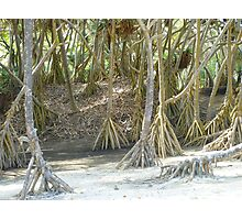 Pandanus Trees - Port Resolution Photographic Print