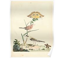 New Illustrations of Zoology Peter Brown 1776 0163 Birds Poster