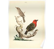 New Illustrations of Zoology Peter Brown 1776 0135 Birds Poster