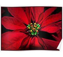 Poinsetta Red Poster
