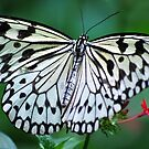 The White Butterfly by Diego  Re