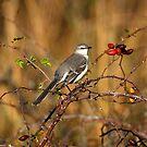 Northern Mockingbird by flyfish70