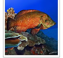TOMATO GROUPER Cephalopholis sonnerati (NOT A PHOTOGRAPH OR PHOTOMANIP) by DilettantO