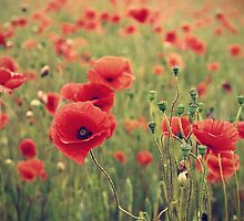 Poppies by Paul Alsop